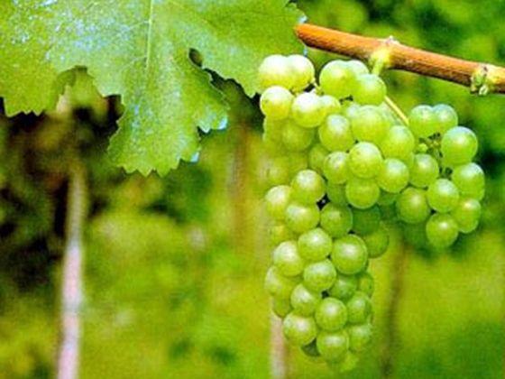Vins-A.O.C.-Blanc.jpg
