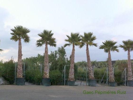 palmier pépinière ruiz.jpg