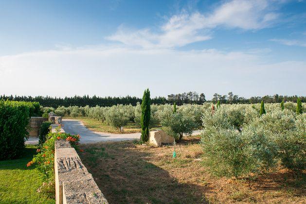 Provence Camargue vigne olivier.jpg
