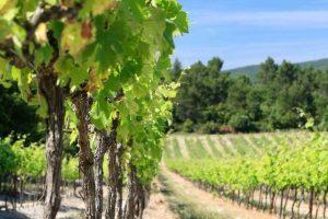 chateau ollieres cépage vignoble vendange.jpg